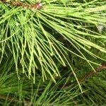 ингаляция сосновыми иголками