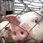 признаки свиного гриппа