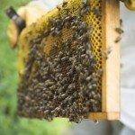 Пчелы, косметика и красота